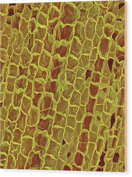 Section Through A Wine Cork Wood Print by Dennis Kunkel Microscopy/science Photo Library