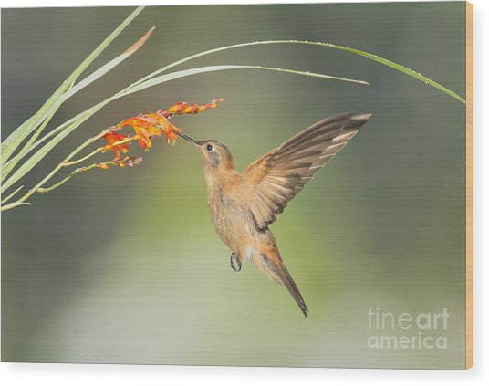 Shining Sunbeam Hummingbird Wood Print