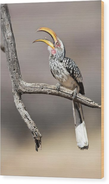 Southern Yellow-billed Hornbill Wood Print