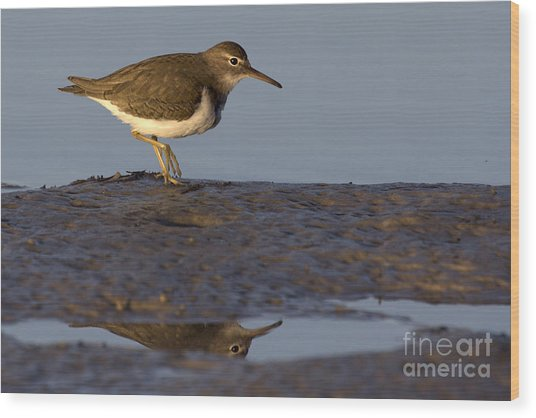 Spotted Sandpiper Reflection Wood Print