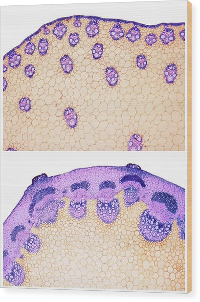 Stem Vascular Arrangement Wood Print by Steve Gschmeissner/science Photo Library