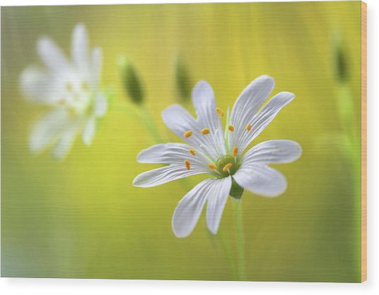 Stitchwort Wood Print by Mandy Disher