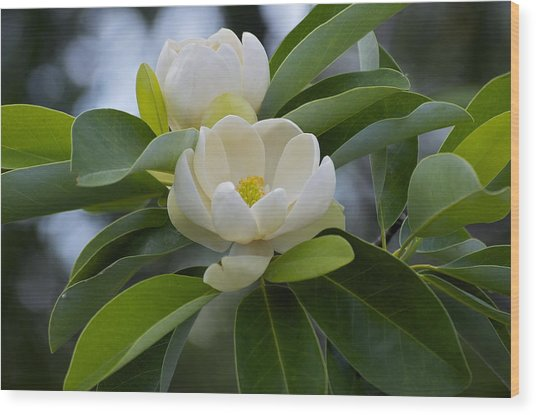 Swamp Magnolia Wood Print