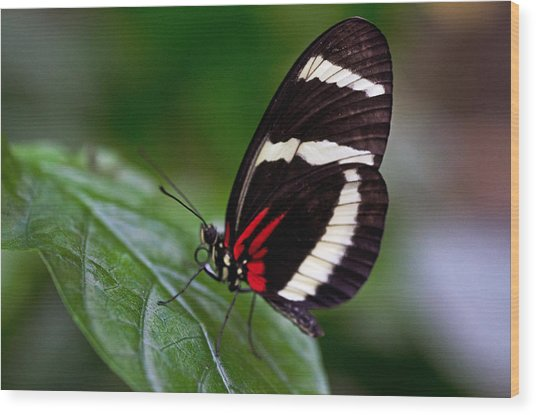 Tiger Longwing Wood Print by Cheryl Cencich