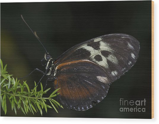 Tiger Longwing Wood Print