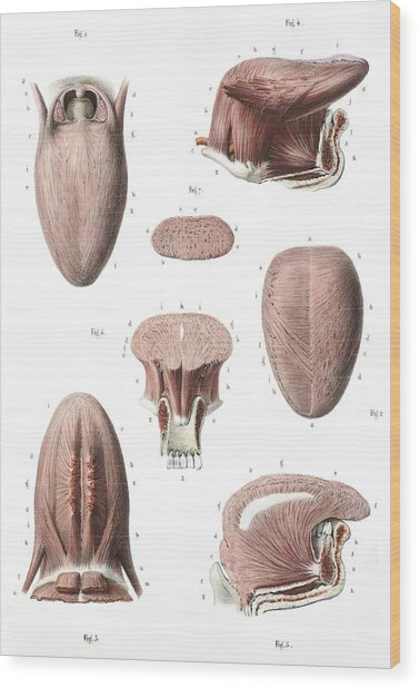 Tongue Anatomy Wood Print by Science Photo Library