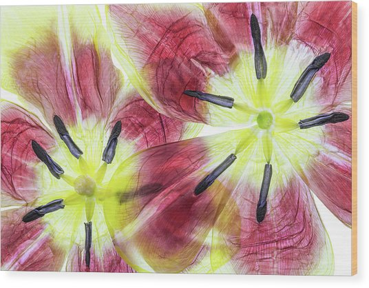 Tulips Wood Print by Mandy Disher