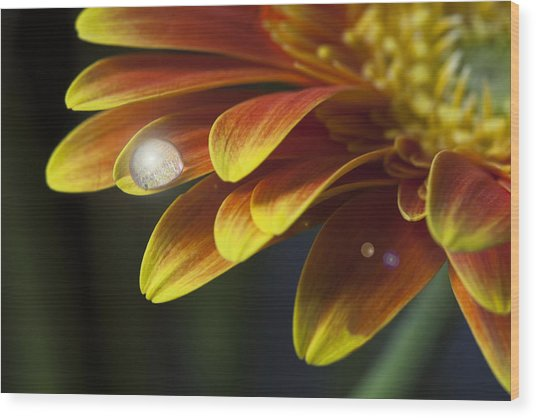 Waterdrop On A Gerbera Daisy Petal Wood Print