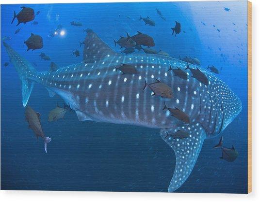 Whale Shark Wood Print by David Valencia