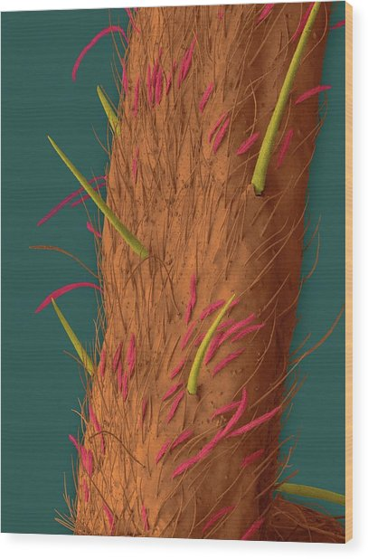 White-banded Fishing Spider Leg Wood Print by Dennis Kunkel Microscopy/science Photo Library