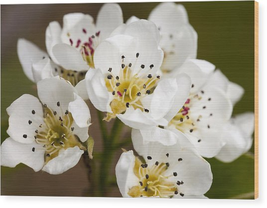 Beautiful White Spring Blossom Wood Print