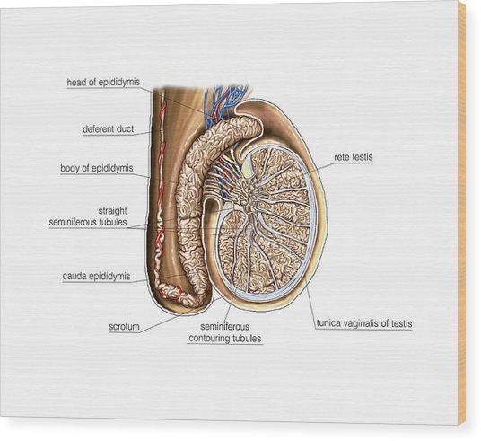 Testis Wood Prints And Testis Wood Art Pixels