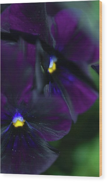 Pansy (viola X Wittrockiana) Wood Print by Maria Mosolova/science Photo Library