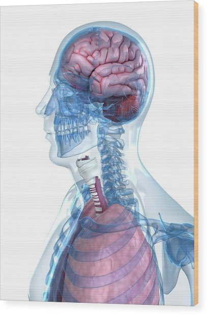 Head Anatomy Wood Print by Sciepro/science Photo Library