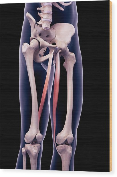Thigh Muscles Wood Print by Sebastian Kaulitzki/science Photo Library