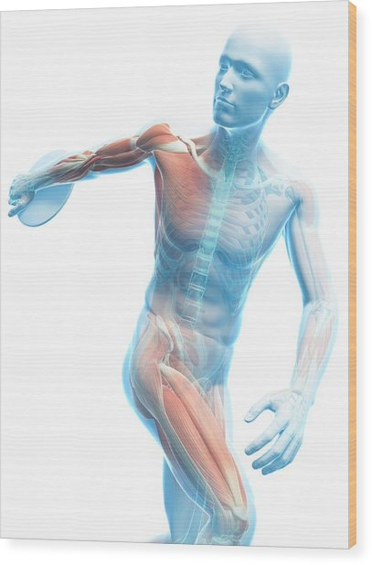 Male Musculature Wood Print by Sciepro/science Photo Library