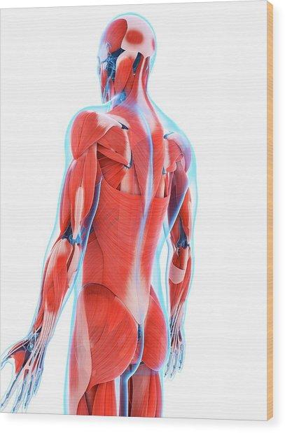Human Back Muscles Wood Print by Sebastian Kaulitzki