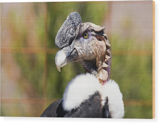 Andean Condor Wood Print by Philippe Psaila/science Photo Library