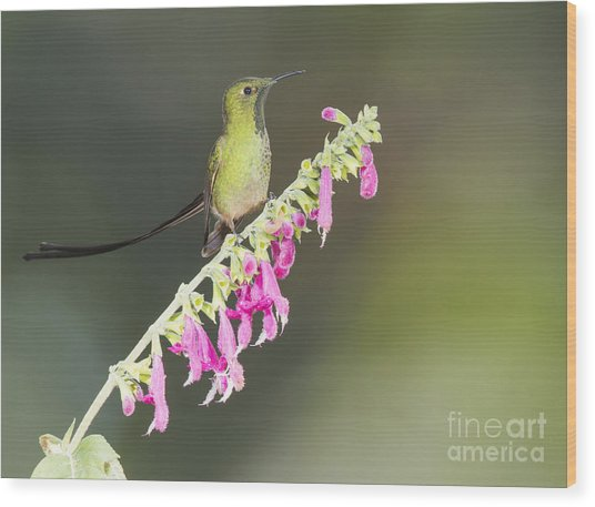 Black-tailed Train Bearer Hummingbird Wood Print