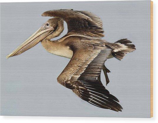 Brown Pelican In Flight Wood Print by Paulette Thomas