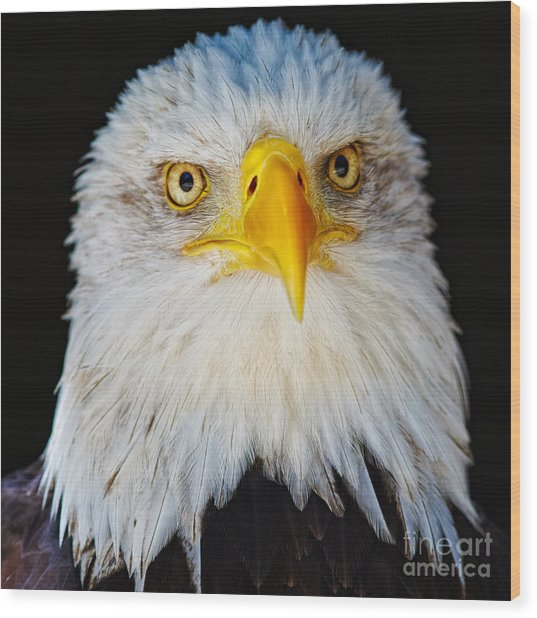 Closeup Portrait Of An American Bald Eagle Wood Print