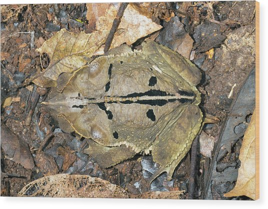 Crested Forest Toad Wood Print
