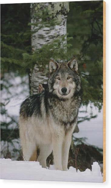 Grey Wolf Wood Print by William Ervin/science Photo Library