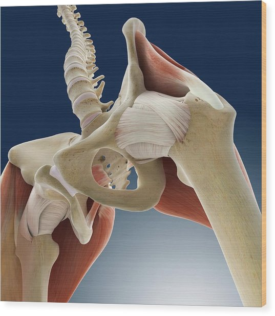 Hip Anatomy Wood Print by Springer Medizin/science Photo Library