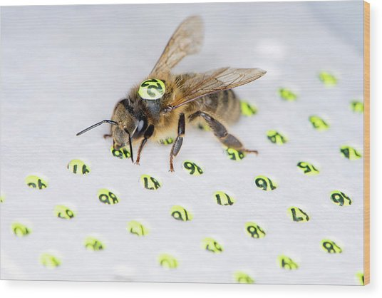 Honeybee Radar Tagging Wood Print