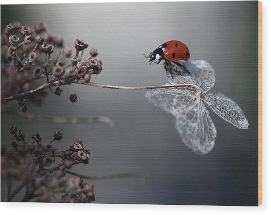 Ladybird On Hydrangea. Wood Print by Ellen Van Deelen