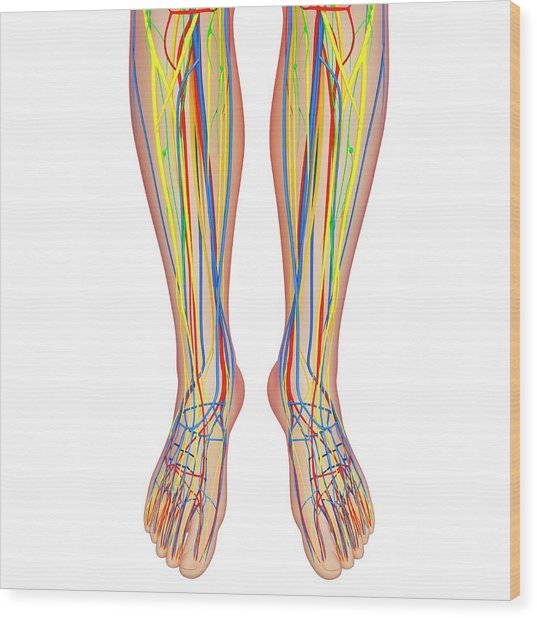 Lower Leg Anatomy Wood Print by Pixologicstudio/science Photo Library