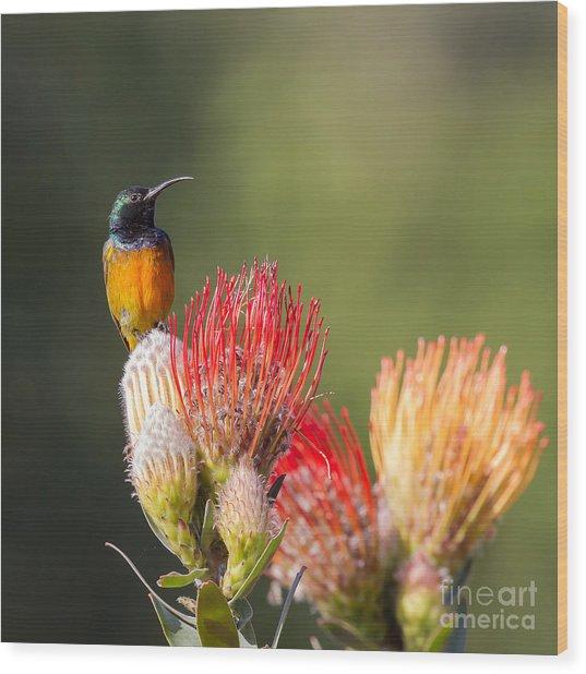 Orange-breasted Sunbird Wood Print