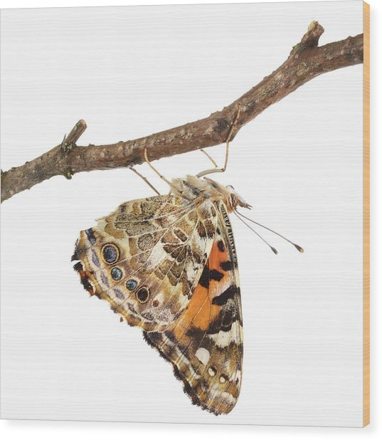 Painted Lady Butterfly Wood Print by Science Photo Library