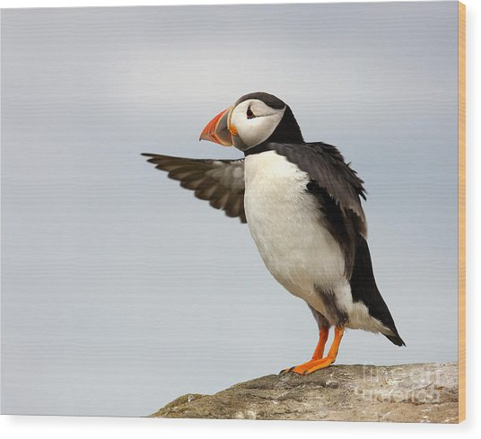 Puffin On The Farne Islands Great Britain Wood Print