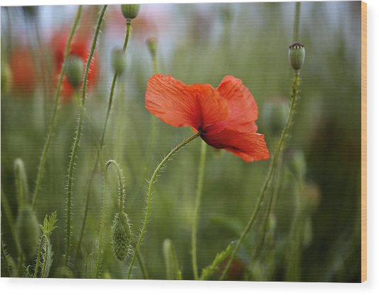 Red Poppy Flowers Wood Print