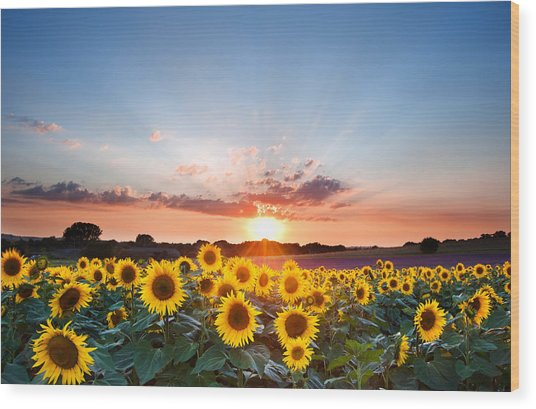 Sunflower Summer Sunset Landscape With Blue Skies Wood Print