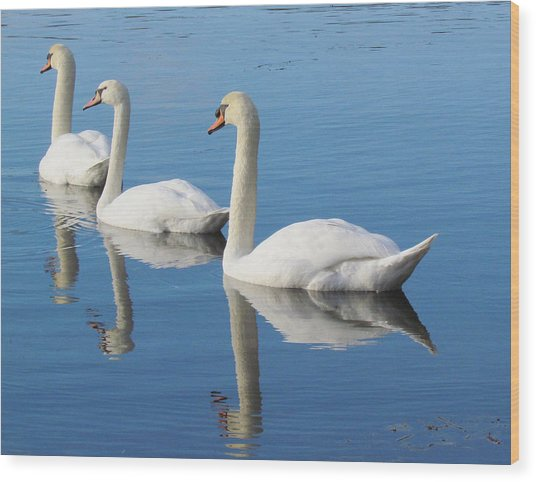 3 Swans A-swimming Wood Print