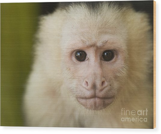 White-faced Capuchin Wood Print