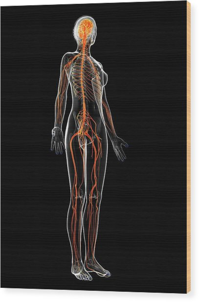 Female Nervous System Wood Print by Sebastian Kaulitzki