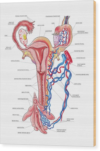 Female Genital System Wood Print by Asklepios Medical Atlas