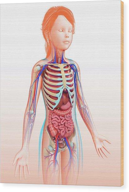 Human Internal Organs Wood Print by Pixologicstudio/science Photo Library