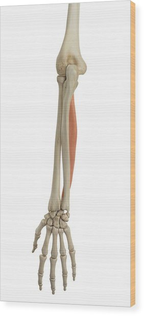 Human Arm Muscles Wood Print by Sciepro