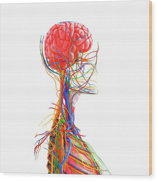 Human Anatomy Wood Print by Pixologicstudio/science Photo Library