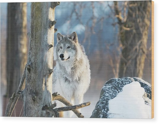 Female Gray Wolf  Canis Lupus Wood Print
