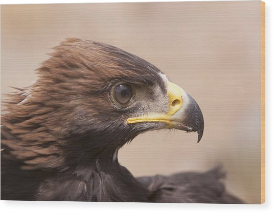 Glaring Eagle Wood Print