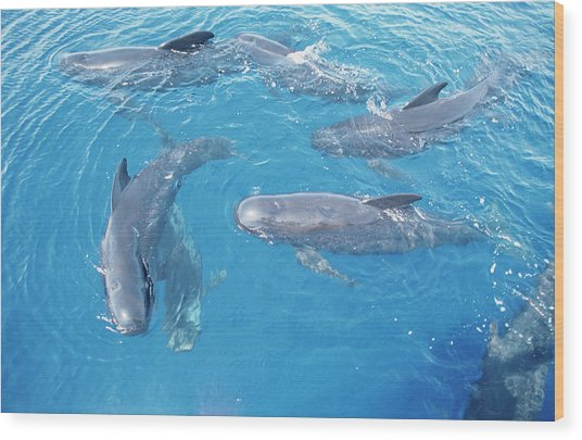 Long-finned Pilot Whales Wood Print by Christopher Swann/science Photo Library