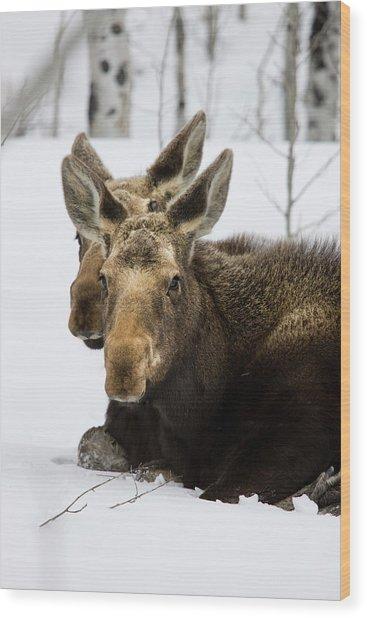 Moose At Grand Teton National Park Wood Print