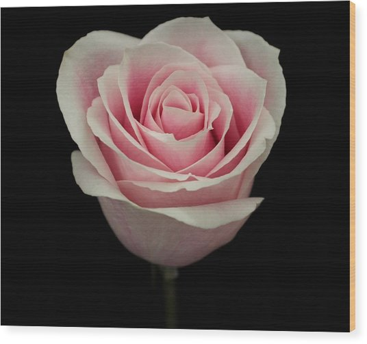 Pink Rose Wood Print by Carol Welsh