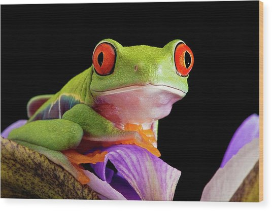 Red-eyed Tree Frog Wood Print