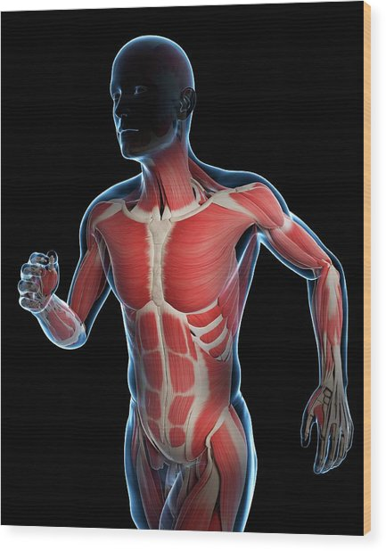 Runner Muscles Wood Print by Sciepro/science Photo Library